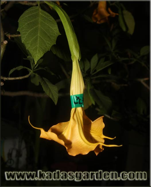 Brugmansia sp. - Orange Angel's Trumpet Flower