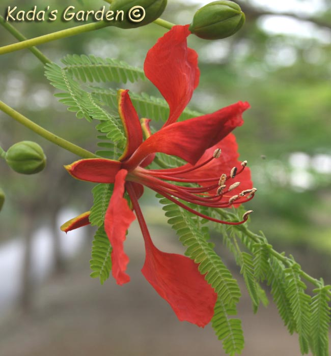 Delonix regia - Flame Tree