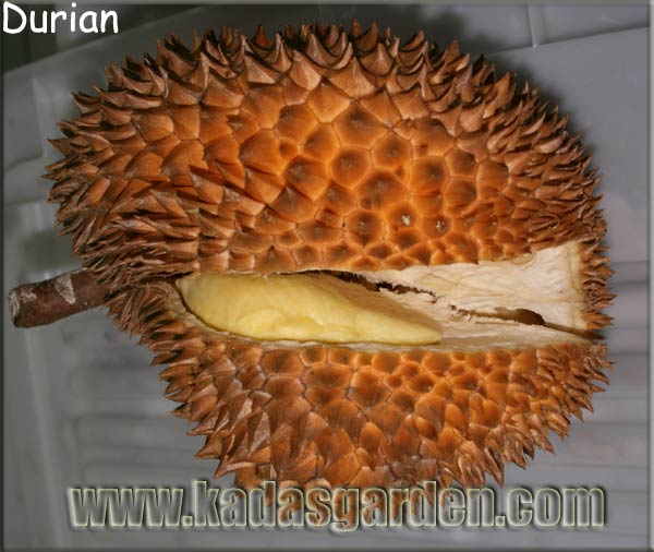 Durio zibethinus - Durian