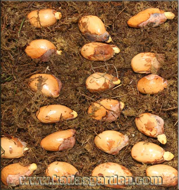 Durio zibethinus - Durian Seeds