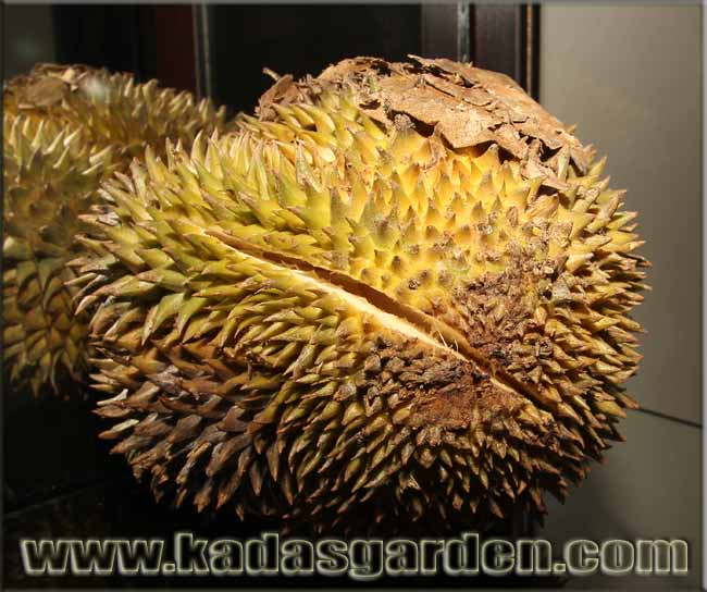 A Philippine Durian starting to split.