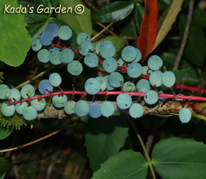 Mahonia repens - Oregon Grape