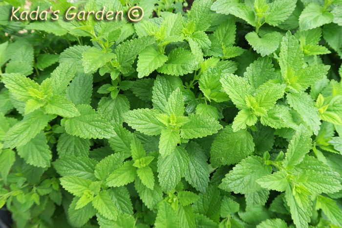 Mentha sp. - Mint