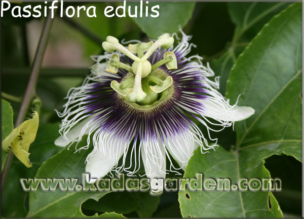Passiflora sp. - Passion Fruit