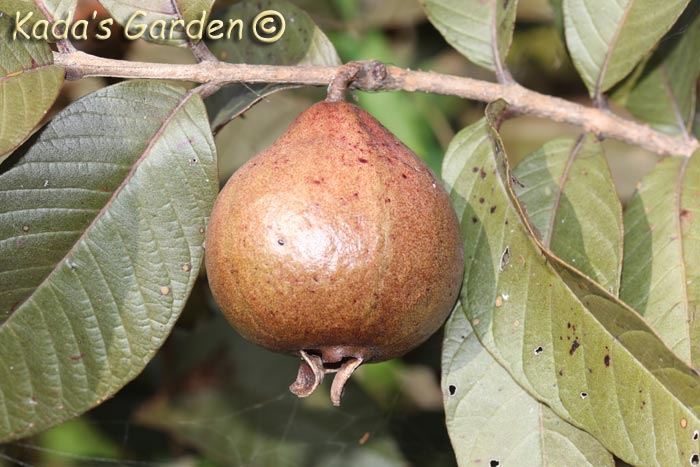 Psidium sp. - Guava varieties